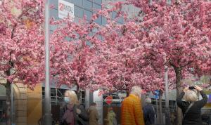 Unter rosa-blühenden Bäumen laufen Passant:innen in einer Fußgängerzone.